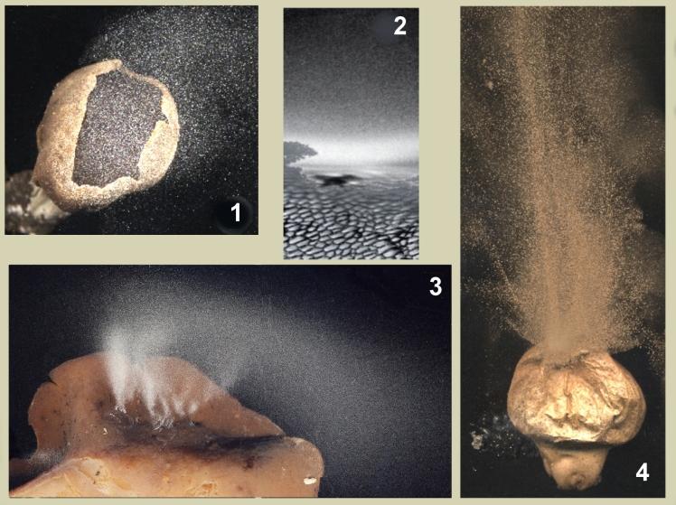 Asco- Sporulation