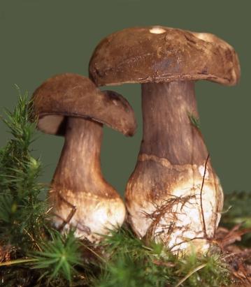 Basidio- Boletaceae- Porphyrellus porphyrosporus