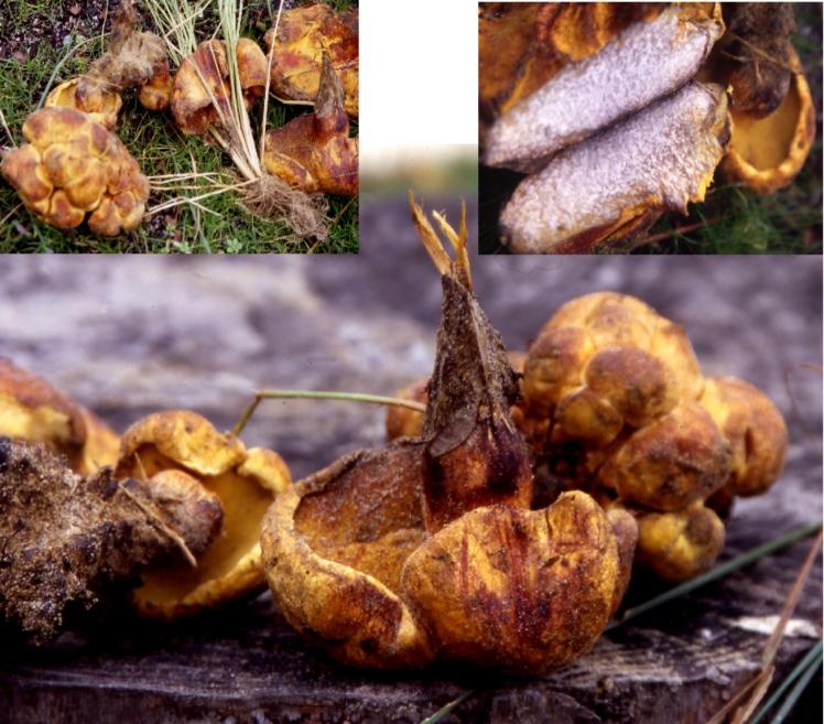 Basidio- Boletaceae- Pulveroboletus hemichrysus