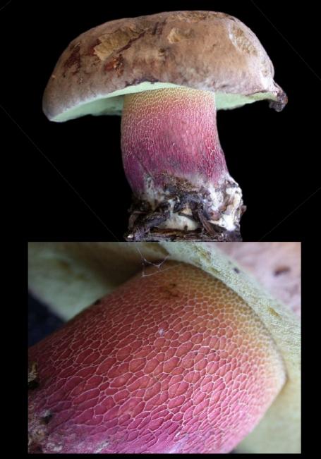 Basidio- Boletus calopus