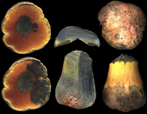 Basidio- Boletus purureus