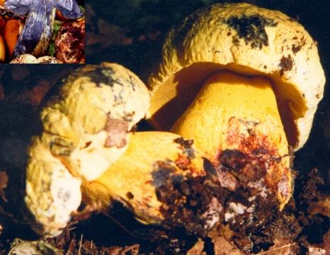 Basidio- Boletus xanthocyaneus