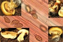 Basidio- Cortinarius auroturbinatus