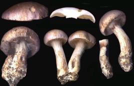Basidio- Cortinarius balteatus