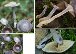 Basidio- Cortinarius saturninus