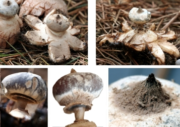 Basidio- Geastrum pectinatum