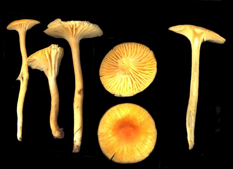 Basidio- Hygrophoracae hygrocybe luteolaeta