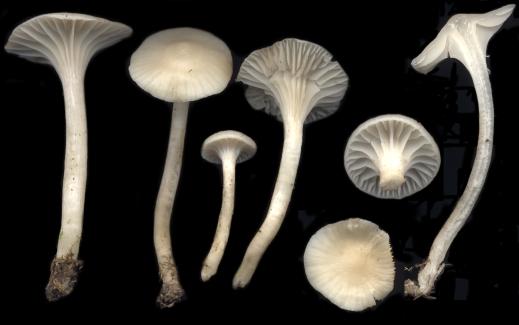 Basidio- Hygrophoraceae cuphophyllus virgineus