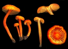 Basidio- Hygrophoraceae hygrocybe miniata