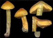Basidio- Hygrophoraceae hygrocybe persistens