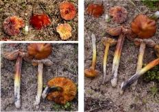 Basidio- Hygrophoraceae hygrocybe pseudoconica