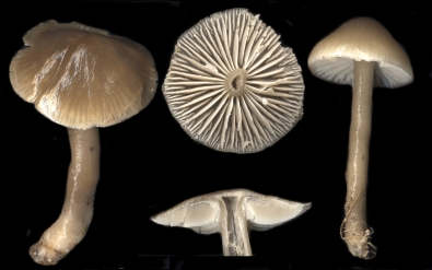 Basidio- Hygrophoraceae hygrocybe unginosa