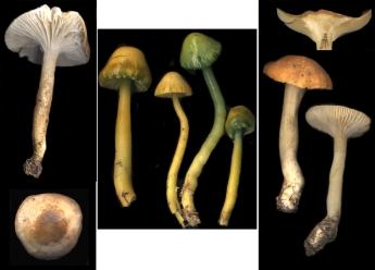 Basidio- Hygrophoraceae trois