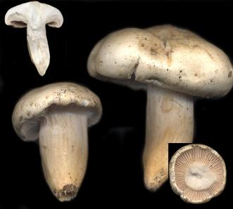 Basidio- Hygrophorus penarius