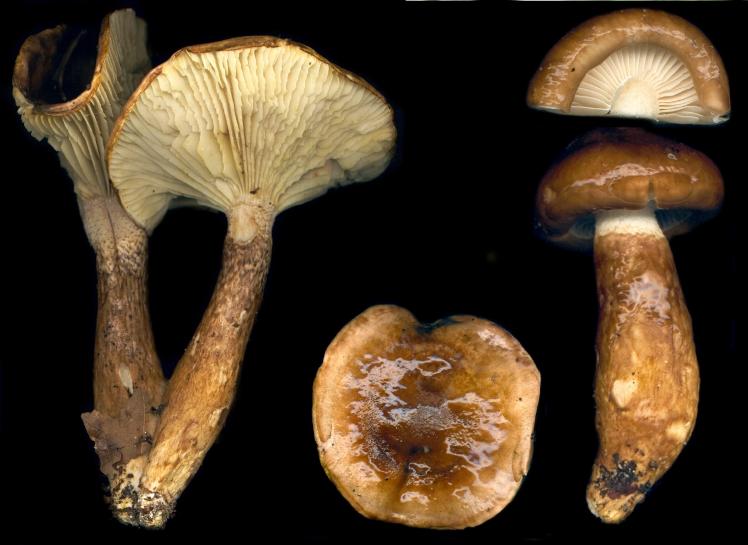 Basidio- Hygrophorus persoonii dichrous