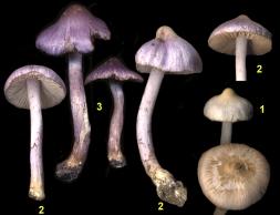Basidio- Inocybe geophylla var.2