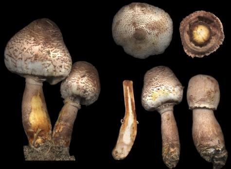 Basidio- Leucoagaricus bresadolae