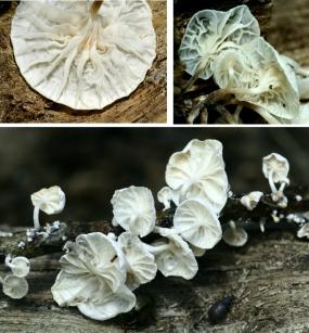 Basidio- Marasmius candidus