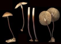 Basidio- Marasmius cohaerens