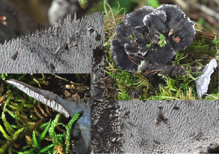 Basidio- Phellodon niger