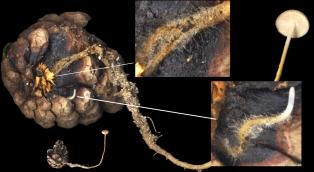 Basidio- Strobilurus tenacellus