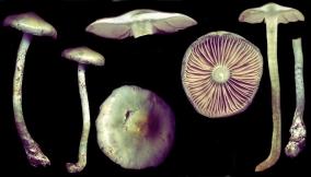 Basidio- Stropharia pseudocyanea