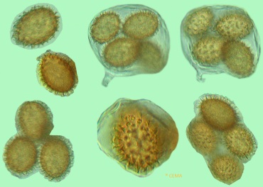 image 9 tube rrufum spore s