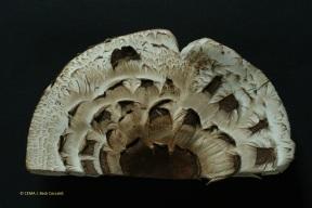 1.1 Chlorophyllumbrunneum 55