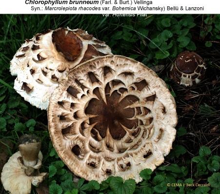 1- Chlorophyllum brunneum chapeaux