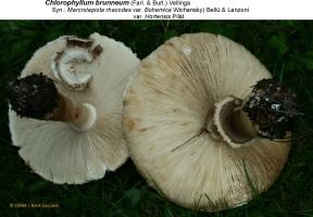 2- Chlorophyllum brunneum anneaux, lames