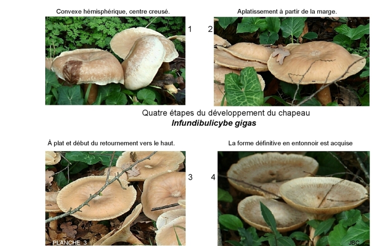 3 - nfundibulicybe chapeau forme planche 3