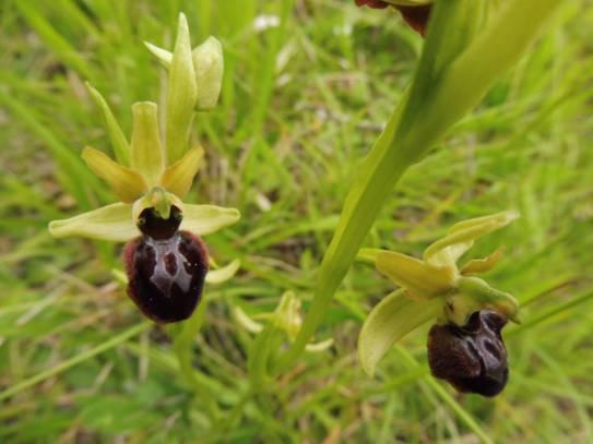 Ophrys aranifera 1