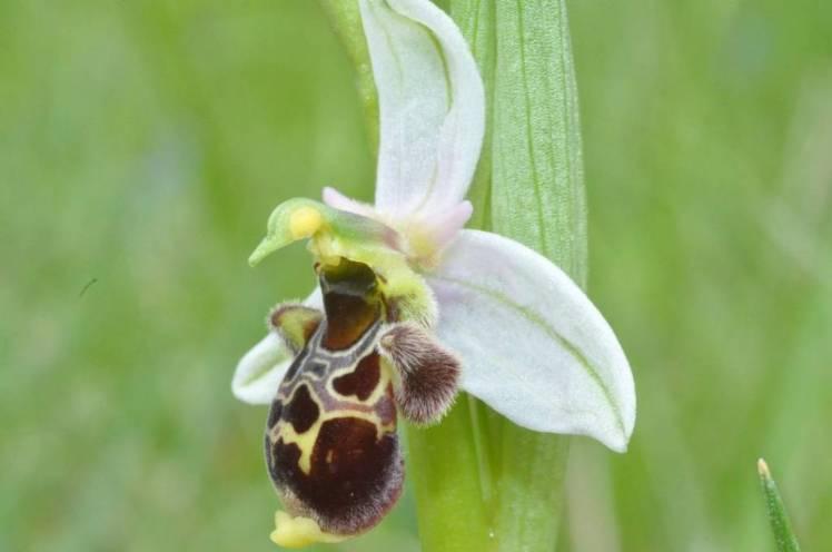 Ophrys scolopax (sépales blancs)