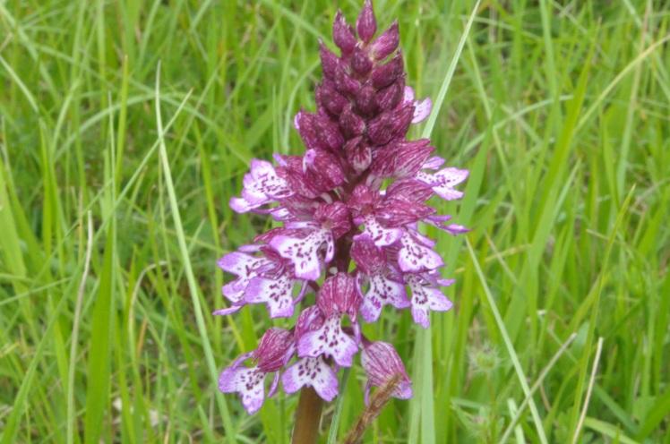 Orchis x hybride (O.militaris x O. purpurea)